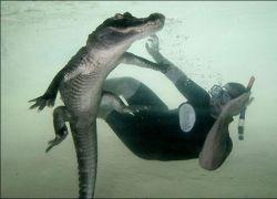 В Майами показывают водный экстрим с аллигаторами