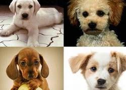 Генетики будут создавать гламурных собак на заказ
