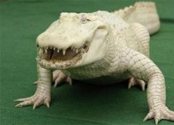В Америке поймали редчайшего белоснежного аллигатора