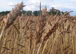 Идентифицированы гены, защищающие пшеницу от ржавчины