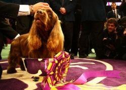 В Нью-Йорке состоялся Westminster Kennel Club Dog Show 2009
