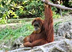 Впервые систематизированы данные тридцатилетнего изучения орангутанов