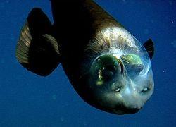 Биологи разгадали загадку рыбы с прозрачной головой