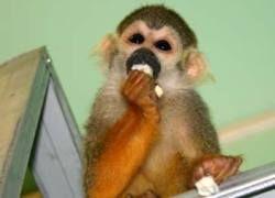 В США запретят держать приматов в качестве домашних животных