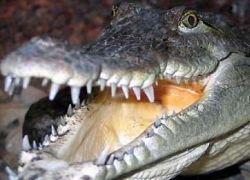 Ученые вшивают в головы крокодилам магниты