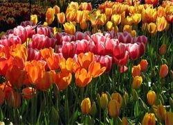 Российских мусульман призвали отказаться от голландских цветов