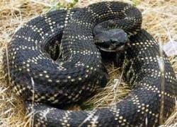 Зачем змеи занимаются каннибализмом?
