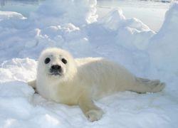 В России запретили охоту на гренландского тюленя