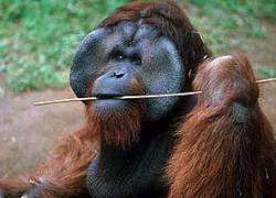 Орангутанг из вашингтонского зоопарка научился свистеть