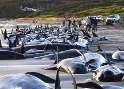 Новое массовое самоубийство дельфинов в Австралии