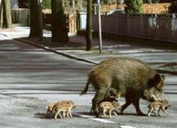 Дикие животные заполонили города Германии