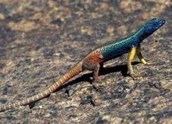 В Южной Африке проживают ящерицы-трансвеститы