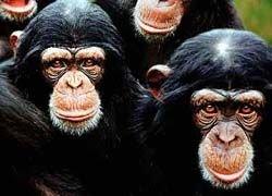 """Шимпанзе научились ловить термитов \""""удочками\"""""""