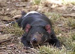 Тасманийские дьяволы генетически предрасположены к раку