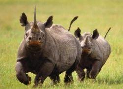"""Ученые \""""поймали\"""" на видео редчайших носорогов"""