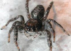 Пауки попались на воровстве еды у муравьёв