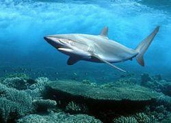 Рядом с Новой Каледонией акулы напали на человека