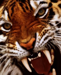 В зоопарке Пекина тигр насмерть загрыз юношу