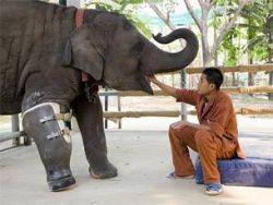 Трехногой слонихе сделали протез