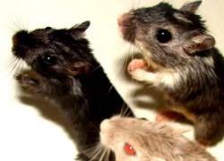 Китайцы накормили мышей контрацептивами