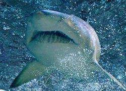 В Австралии закрыты пляжи из-за большого скопления акул