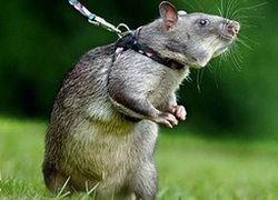 Поиском мин займется крысиный спецназ