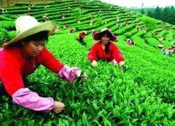 Черный чай может значительно подорожать