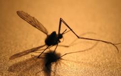 Израильские раввины объявили войну комарам