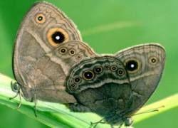 Зачем бабочке узор на крыльях?
