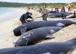 Причина выброса китов на берег - глобальное потепление?