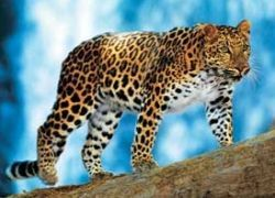 Получен генетический код редчайшего леопарда
