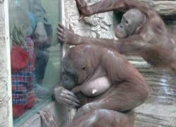 Кражи помогают орангутанам знакомиться