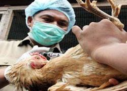 России грозит птичий грипп