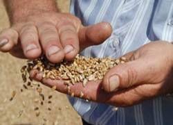 Пшеница вместо танков: власти РФ занялись рынком зерна