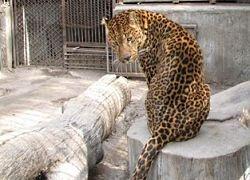 В Уссурийске браконьеры убили дальневосточного леопарда