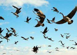 Перелетные птицы используют допинг