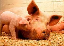 Американские свиноводы просят не пускать Россию в ВТО