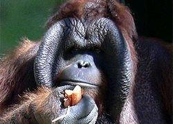 На Борнео нашли неизвестную популяцию орангутанов
