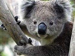 90% коал в зоопарках заражены страшной болезнью