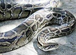 Африканец спасся от змеи, вызвав помощь по телефону