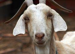 В Иране клонировали козу