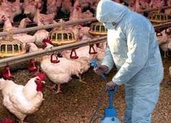 Готова ли Россия к птичьему гриппу?