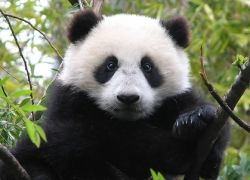 В Китае построят новый заповедник для панд