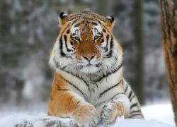 В Приморье амурского тигра сбила машина