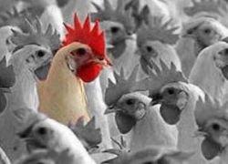В Египте выявлен случай заражения птичьим гриппом