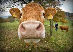 Ученые полностью расшифровали геном коровы