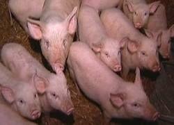 Африканскую чуму свиней завезли в Россию из Грузии