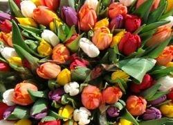 На Украине расцвело крупнейшее в мире поле тюльпанов