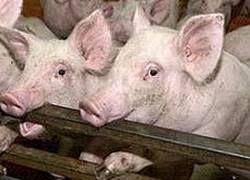 Свиной грипп – пандемия истерики?
