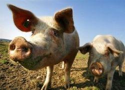 Россию свиной грипп не обойдет стороной